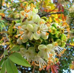 Kapok Tree Flower Kapok tree (ceiba pentandra)