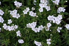 A detailed catalogue of my Heirloom Perennial Nursery, specialising in hardy cranesbill geraniums and other treasures. Your gardening questions answered! British Decor, Hardy Geranium, Back Gardens, Courtyard Gardens, Fade Color, Plant Nursery, White Gardens, Shade Plants, Garden Inspiration