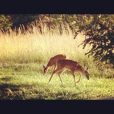 Grazing #WhiteTails - #CadesCove - #Gatlinburg