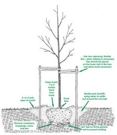 Fall: Great time to plant trees/ shrubs.The ideal time to plant trees and shrubs is during the dormant season and in the fall after leaf drop or early spring before budbreak. Planting Shrubs, Garden Plants, House Plants, Fruit Garden, Trees And Shrubs, Trees To Plant, Facts About Plants, Tree Support, Growing Fruit Trees