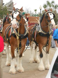 I want a Budweiser horse Clysdale Horses, Breyer Horses, Draft Horses, Show Horses, Work Horses, Majestic Horse, Beautiful Horses, Animals Beautiful, Pretty Horses