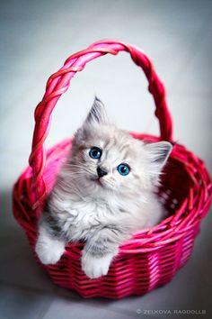lynx ragdoll kitten by venomxbaby.deviantart.com on @deviantART