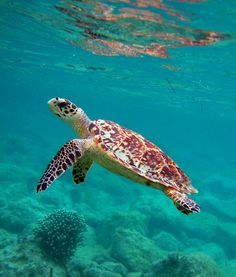 The coral reefs surrounding Caneel Bay Resort are teeming with marine life! #travel #vacation #turtle caneelbay.com