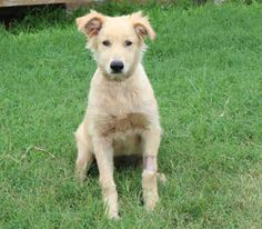 This precious girl's name is TANGO and she is a spayed, yellow Golden Retriever mix.  She is about 7 months old and has been at the shelter since June 15, 2014.  Tomorrow will make a whole month that she has been at the animal shelter.