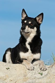 Lapponian Herder dog photo | Stock Photo - Lapponian Herder, Lapinporokoira or Lapp Reindeer dog ...