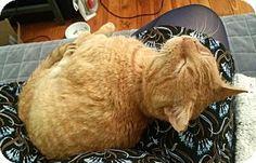 Philadelphia, PA - Domestic Shorthair. Meet Benjamin Franklin, a cat for adoption. http://www.adoptapet.com/pet/17893814-philadelphia-pennsylvania-cat
