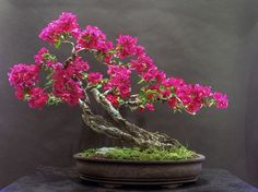 Beautiful Bougainvillea Bonsai Trees | Bloom: Bonsai Trees, Bloom Bonsai, Bonsai Plants, Bougainvillea Bonsai ...