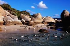 African (jackass) penguins (Spheniscus demersus) at Boulders Beach, False Bay, South Africa Beautiful Places In The World, Places Around The World, Oh The Places You'll Go, Places To Visit, Around The Worlds, Amazing Places, South Africa Holidays, Cape Town South Africa, African Penguin