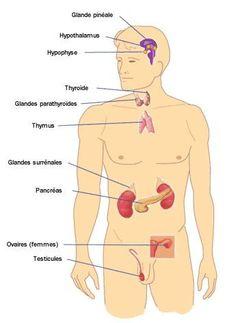 systeme-endoicrinien Plus