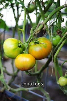 beautiful tomatoes! how to grow your own on blog link. by jenna