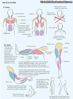 Muscle guide for drawing.