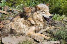 Genetic analysis shows that Eastern wolves and red wolves are just hybrids of this single wolf species.