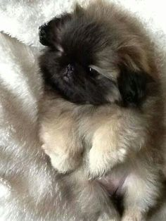 Adorable Pekingese puppy. Can we all say aww???