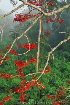 Blossoming erythrina tree, Manu National Park, Peru