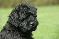 Image Search Results for bouvier puppies