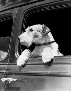 Profile portrait of wire fox terrier dog looking out of automobile window  corbis