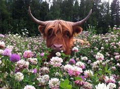 Highland cow in clover.