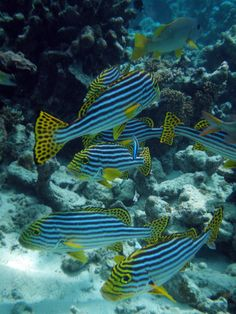 Maldives Oriental Sweet-lips [Plectorhinchus vittatus], Republic of Maladives. Click on this image and on the next two images for a much closer look at these fish.