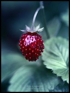 Lovely Strawberry (Memories of picking tiny strawberries near the ground in the fields of grass). I was a little girl.