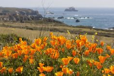 How to Find Spectacular California Wildflowers That You Will Love to See: California Poppies on the Coast