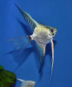 Blue Ghost (Clown) Angelfish