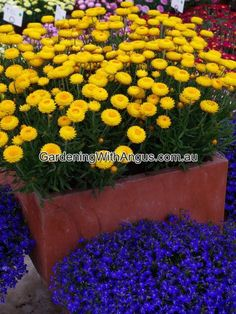 Best Australian native plants for pots and containers Australian Native Garden, Australian Native Flowers, Australian Plants, Native Plants, Garden Styles, Container Gardening, Landscape Design, Nativity, Daisy