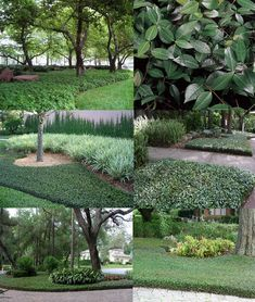 Asiatic Jasmine (Trachelospermum Asiaticum) - Zone 7b-10b Shade-Full Sun 1' Height 2'-3' Spread. Dark green shiny evergreen foliage forms a fast-growing thick blanket with this easy-care groundcover that's great under large shade trees! Deer, Heat, Mildew, Insect, & Drought resistant. Prefers moist, well-drained soil to establish. *Severe cold may cause it to drop some foliage.