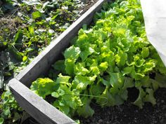 How to plant lettuce (with tips to avoid bitterness).
