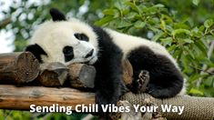 Rather than sleeping through the night, Panda Bears take several naps throughout the day. Pandas will eat a large meal and then sleep for 2-4 hours. In total Pandas sleep around 10 hours a day. 🐼   #Panda #sleep #bamboo #vibes #naps #sleepphones #love #summer #animals #zoos #asmr #chill  #nature #white #organic #green #home #health #eco #ecofriendly #office #yoga #healthy #naturelovers Office Yoga, Sleeping Animals, Panda Bears, Sleeping Through The Night, Zoos, 4 Hours, Asmr, Chill, Bamboo