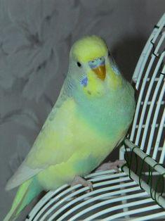Rare Parakeet Colors