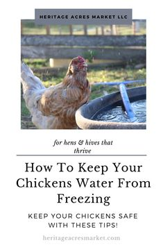 With winter fast approaching, it is time to start preparing for the cold weather. A good place to start is by preparing the coop and run. One of the most significant concerns come winter is keeping your birds water source from freezing. Fresh water is just as important to chickens in the winter as it is the summer. Proper hydration helps birds regulate their temperature and stay warm. #chickens #farm #hobbyfarm #backyard #hobby #hens #chicks Best of Heritage Acres Market Backyard Farming, Chickens Backyard, Keeping Goats, Chickens In The Winter, Farm Lifestyle, Sustainable Farming, Water Sources, Chicken Breeds, Hobby Farms