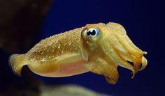 Científicos desarrollan camuflaje inspirado en cefalópodos