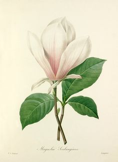 Magnolia art print vintage Botanical Art Prints by AntiqueWallArt Illustration Botanique, Illustration Blume, Illustration Flower, Antique Illustration, Vintage Botanical Prints, Botanical Drawings, Antique Prints, Vintage Prints, Arte Floral