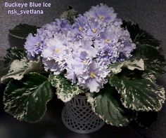 Buckeye Blue Ice