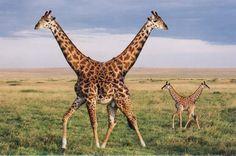 push me pull you Giraffes