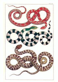 "Albertus Seba snake illustration from his ""Cabinet of Natural Curiosities"" - a book to be coveted for sure!"