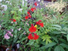 Salvia Royal Bumble Salvia, All Plants, Seaside, Coastal, Sage, Beach, Coast