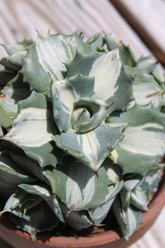 Century Plant for sale buy Agave isthmensis 'Moon Disk'  http://www.plantdelights.com/index/page/category/category_id/57380
