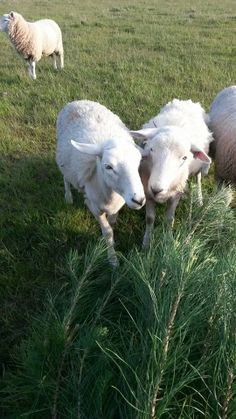 "Our Wiltshire Poll Sheep ""helping"" bring a display tree in for our GardenFest stall in 2013."