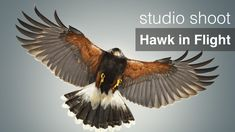 A Harris Hawk in flight… What a fantastic first shoot for the new studio! It was great to welcome Robert and his incredible friend Freyja the hawk back.