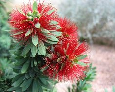Little John Bottle Brush Evergreen shrub Grows 3 feet tall and 5 feet wide Mounded shape Produces bright red bottle brush like flowers in the spring Attracts hummingbirds Grows slowly Hardy to Unusual Plants, Rare Plants, Evergreen Shrubs, Trees And Shrubs, Rare Flowers, Beautiful Flowers, Texas Landscaping, Wholesale Plants, Arizona Gardening