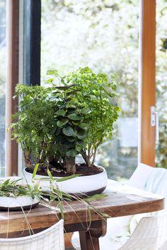 Kleinere Zimmerbäume kann man gut in dekorativen Tonschalen kombinieren – Pflanzenfreude.de. #pflanzenfreude #zimmerbäume
