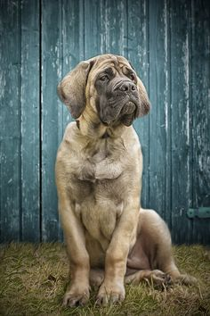 Mastiff Puppy by Schubert´s Fotografie Mastiff Breeds, Mastiff Dogs, Giant Dog Breeds, Giant Dogs, Love Pet, I Love Dogs, English Mastiff Puppies, English Mastiffs, Wallpaper English