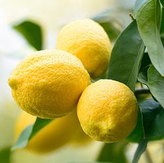 Citronnier le plus cultivé. Très apprécié pour sa floraison parfumée et sa fructification qui dure presque toute l'année. Très productif