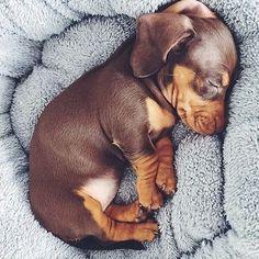 Image result for miniature dachshund instagram #Dachshund