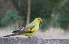 Regent Parrot  (Polytelis anthopeplus)