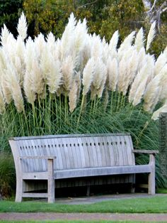 2 Snow White Pampas Grass Cortaderia Selloana Plants is part of Cortaderia selloana 2 Plant Deal! An impressive grass, Pampas stocks can grow 12 to 15 tall and twice as wide Light fluffy plumes ris - Moon Garden, Dream Garden, Garden Grass, Herbs Garden, Shade Garden, Garden Paths, Front Yard Design, Xeriscaping, Front Yard Landscaping