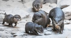 Cleveland Zoo's Otter Pups Are The Cutest Explorers Cleveland Zoo, Otter Pup, Cleveland Metroparks, Otters, Habitats, Wood Crafts, Ohio, Rocks, Explore