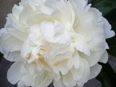 "Peony Ann Cousins - White, full double, very fragrant, late flowering, 32"" tall. Large, lovely, full double flowers will need support."