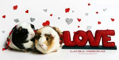 happy valentines day from my guinea piggies! © Laura Merikay Photography LLC